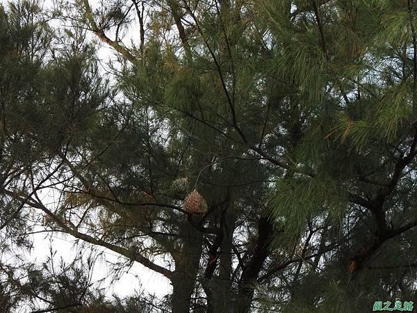 黑頭織布鳥20160827(43)