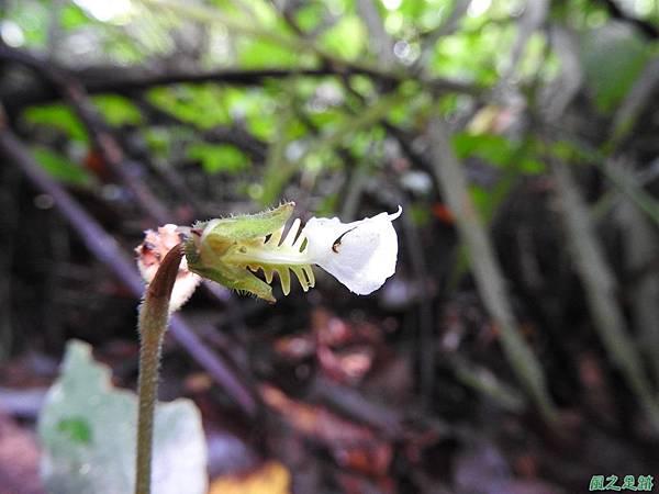 白齒唇蘭20160911(8)
