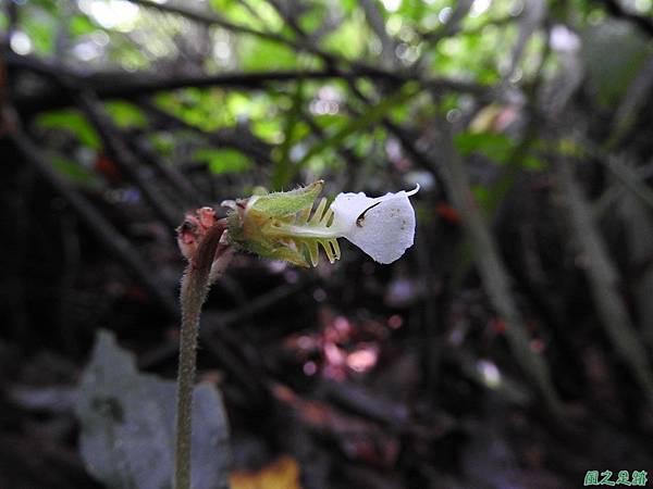 白齒唇蘭20160911(9)