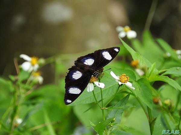 雌紅紫蛺蝶20161001(12)