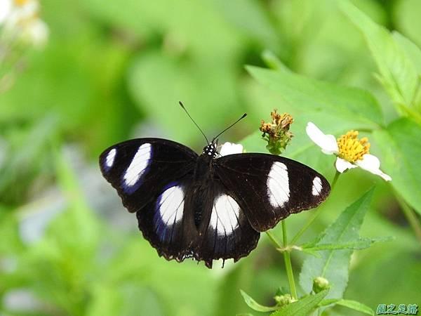 雌紅紫蛺蝶20161001(26)