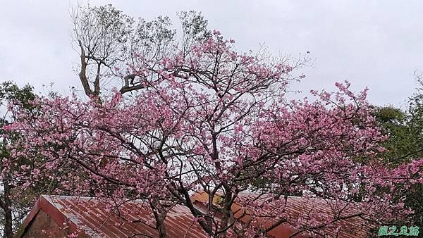 20170221三和里櫻花(1)