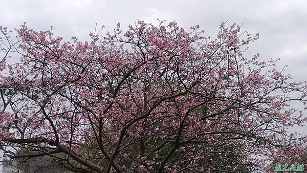 20170221三和里櫻花(9)