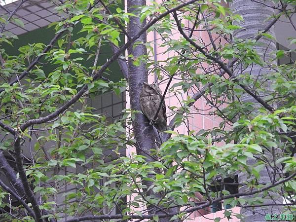 鴒角鴞20170313(2)