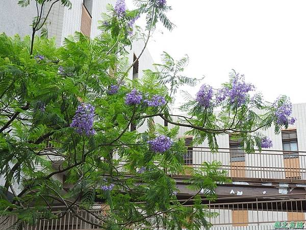 藍花楹20170528(1)