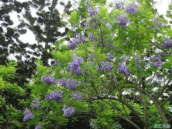藍花楹20170528(5)
