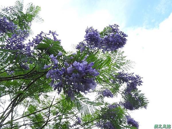 藍花楹20170528(7)
