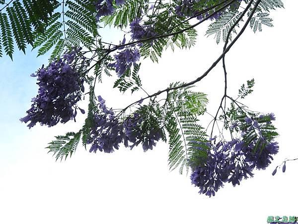 藍花楹20170528(9)