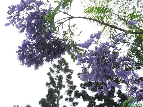 藍花楹20170528(10)