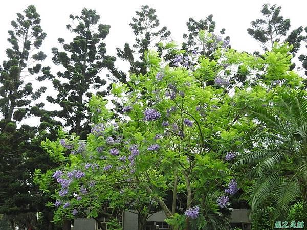 藍花楹20170528(18)