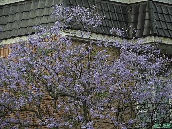 藍花楹20180430(14)