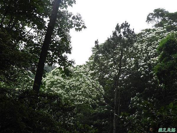 關西賞桐20180501(25)