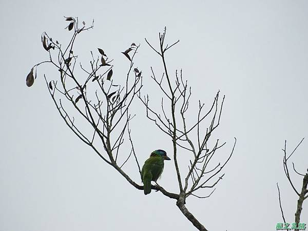 五色鳥20180505(2)
