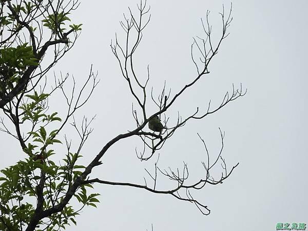 五色鳥20180505(28)