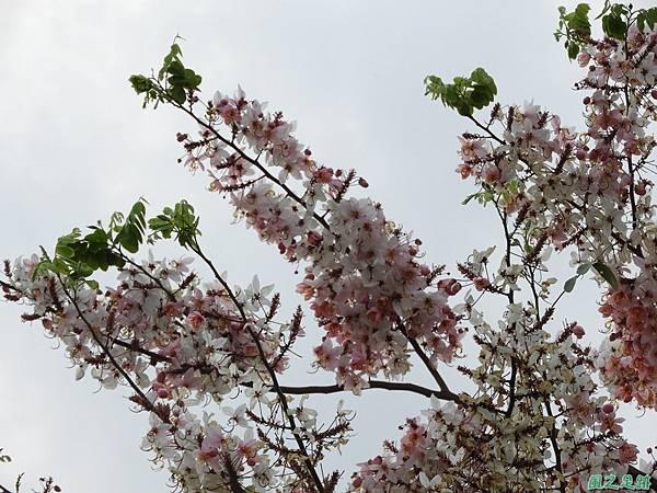 花旗木20180414(17)