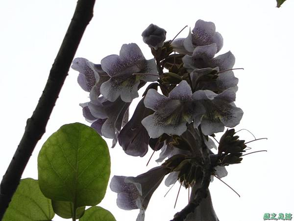 泡桐花20180408(4)