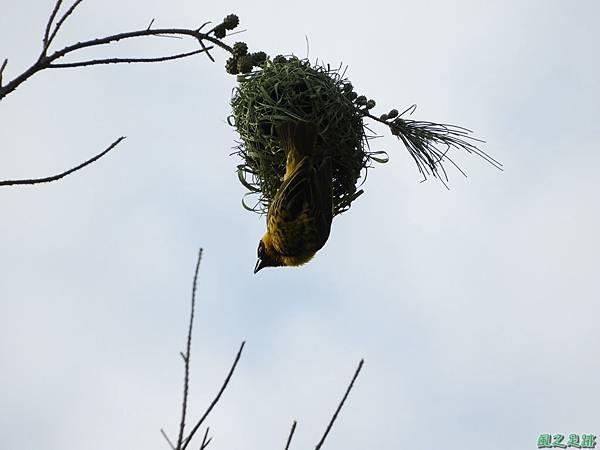 黑頭織布鳥20180510(32)