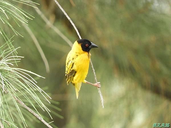 黑頭織布鳥20180510(33)