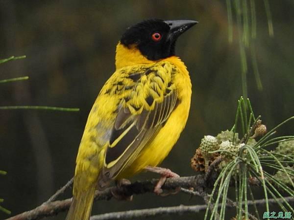 黑頭織布鳥20180510(46)