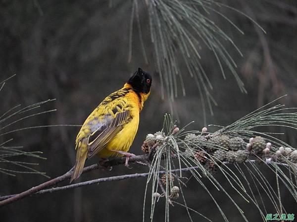 黑頭織布鳥20180510(49)