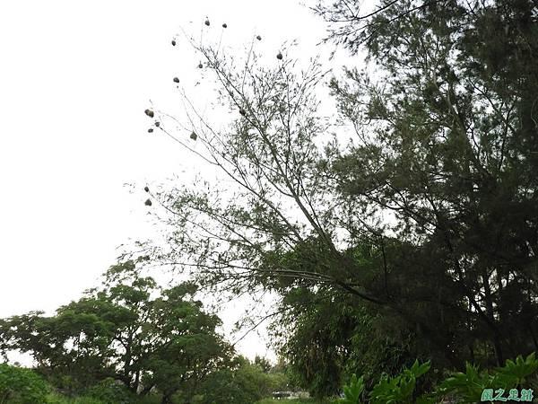 黑頭織布鳥20180510(50)
