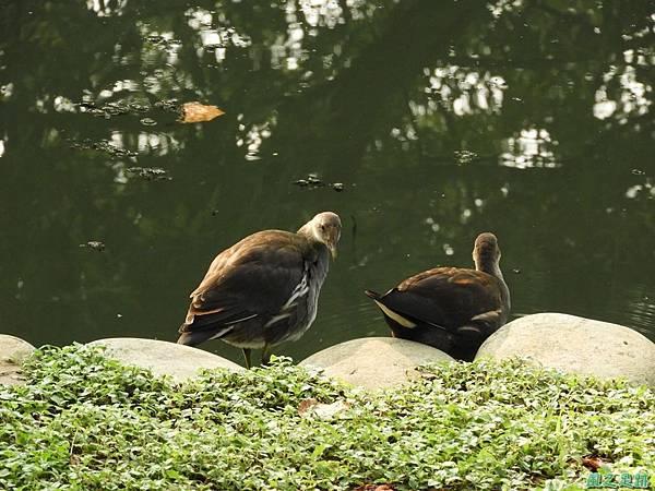 紅冠水雞20180630(24)