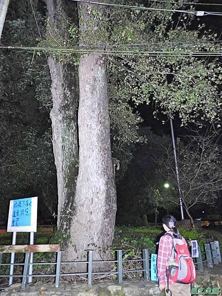 蜈蚣社區楓香老樹群20160917(6)