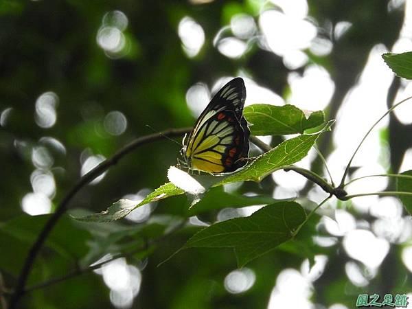紅紋粉蝶20180809(19)