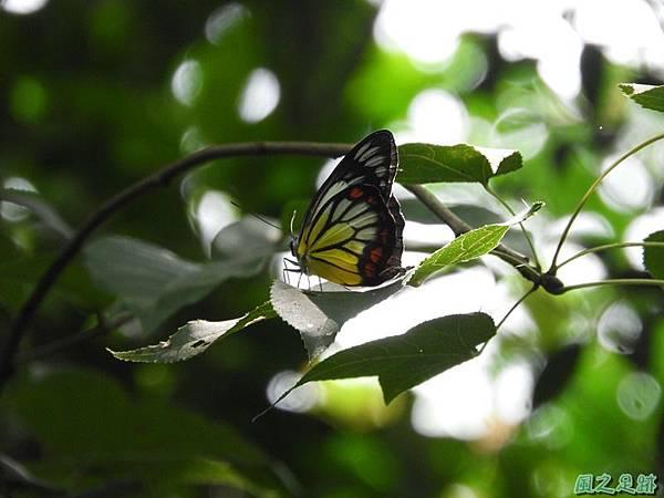 紅紋粉蝶20180809(23)