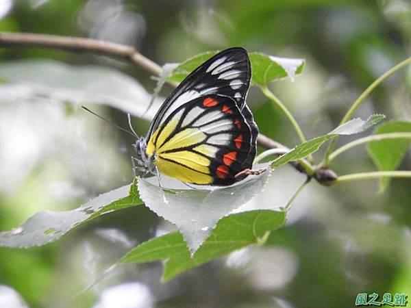紅紋粉蝶20180809(29)