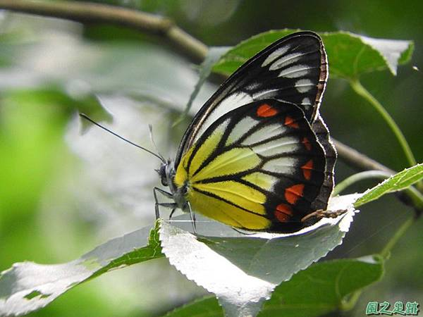 紅紋粉蝶20180809(30)