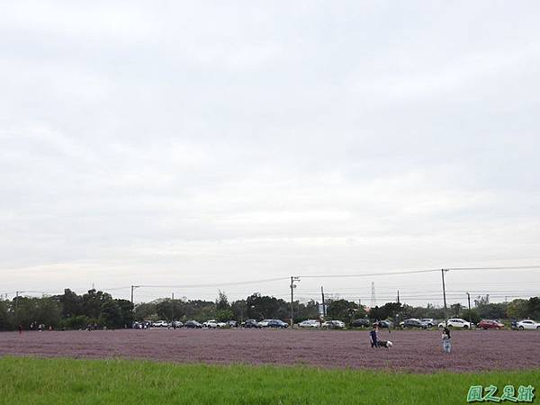 仙草花海20181125(35).JPG
