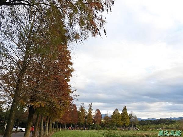 落羽松大道20190106(36)