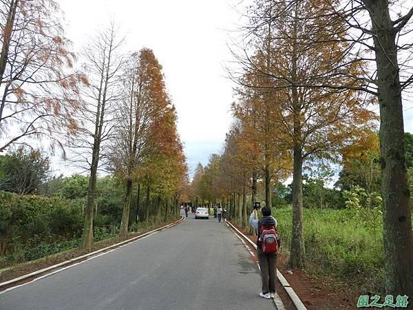 落羽松大道20190106(40)
