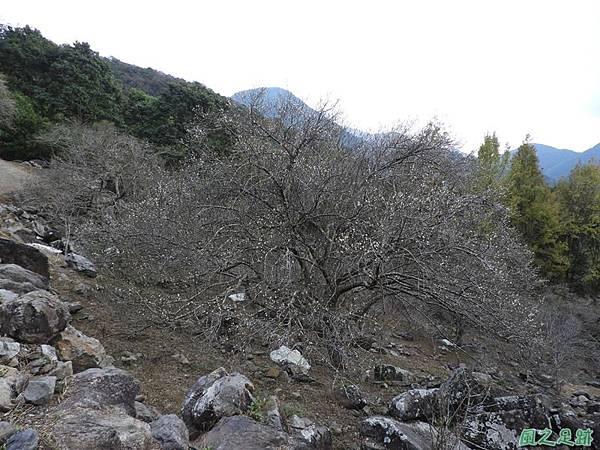 眉原梅緣20190112(40)