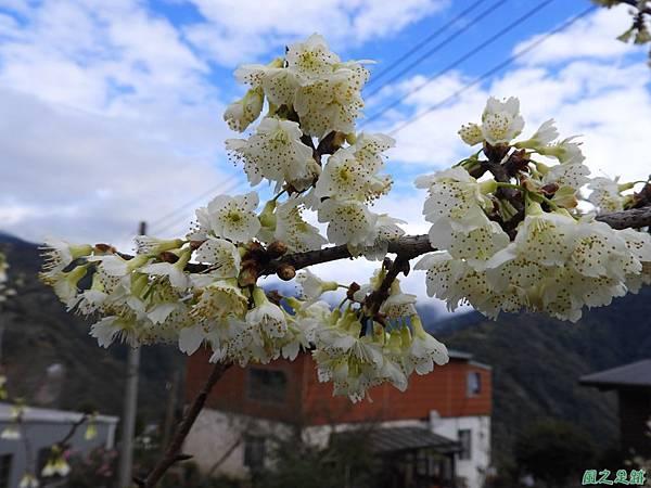 巴陵山櫻花20190127(2)