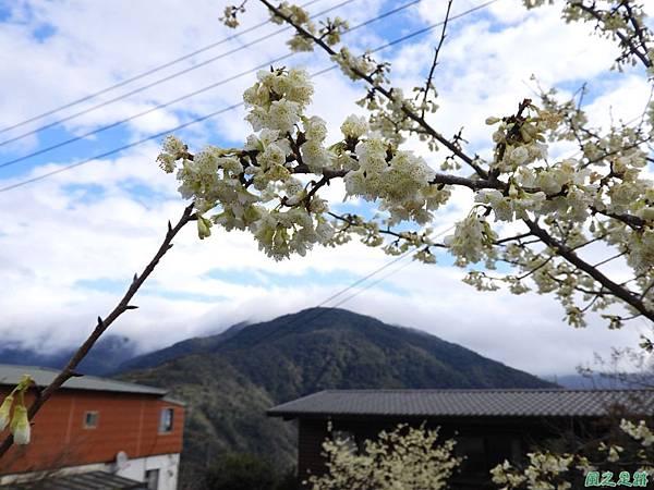 巴陵山櫻花20190127(20)