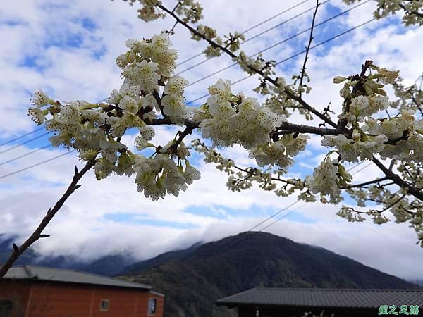 巴陵山櫻花20190127(18)