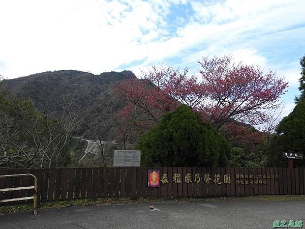 巴陵山櫻花20190127(26)