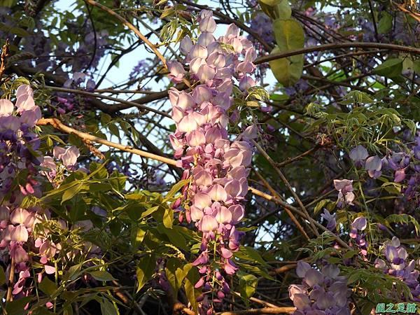 溪海紫藤花20190405(4).JPG