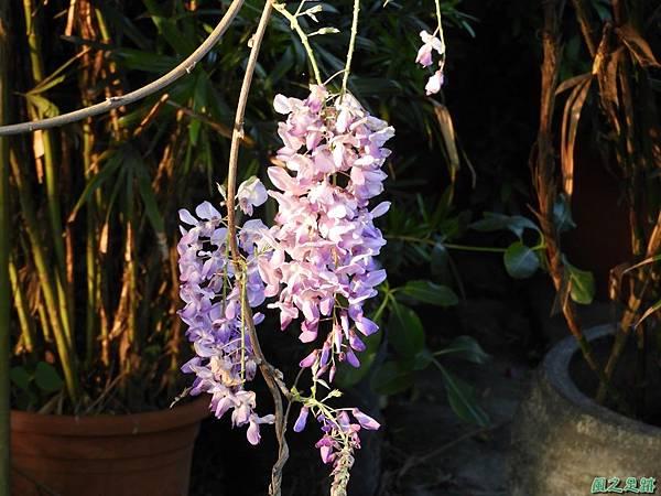 溪海紫藤花20190405(9).JPG