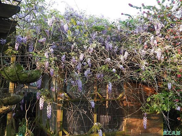 溪海紫藤花20190405(28).JPG