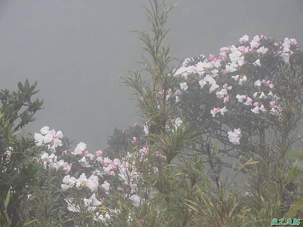 合歡山杜鵑花季(7).JPG