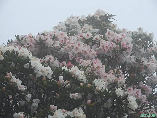 合歡山杜鵑花季(37).JPG