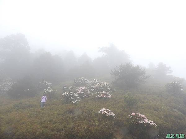 合歡山杜鵑花季(41).JPG