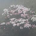 合歡山杜鵑花季(44).JPG