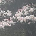 合歡山杜鵑花季(46).JPG