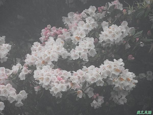 合歡山杜鵑花季(47).JPG
