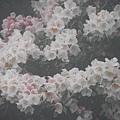合歡山杜鵑花季(48).JPG