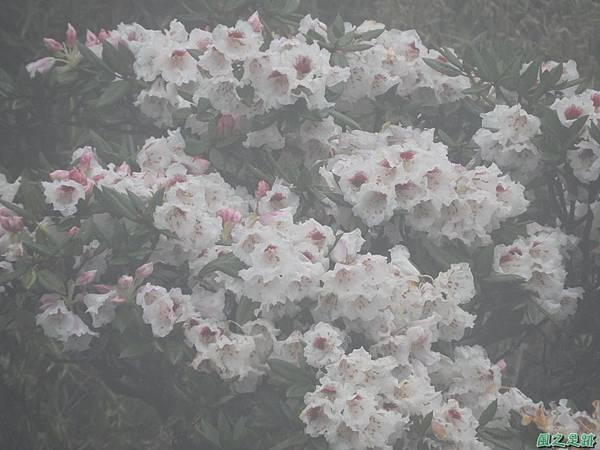 合歡山杜鵑花季(52).JPG